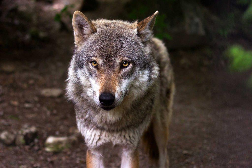 Qué ver en Asturias: lobos