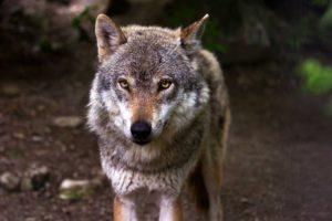 lobos-salvajes-asturias