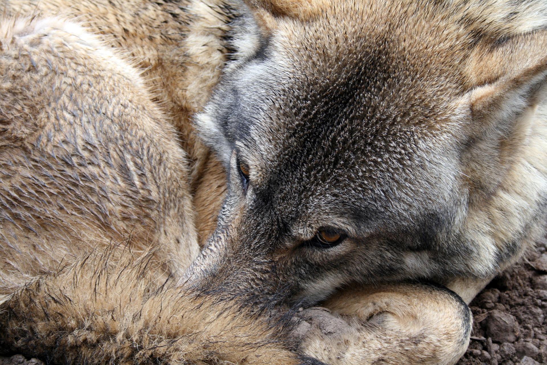 lobos-salvajes-en-Asturias