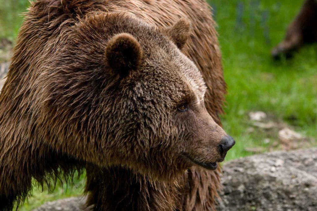 El oso pardo ibérico