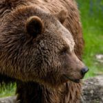 osos en asturias